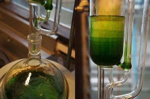 Image of CORIANDER-CILANTRO spagyric tincture - alchemically enhanced plant extraction