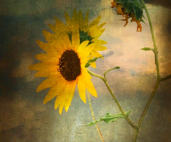 Image of Sunflower (note card)