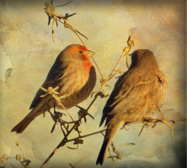 Image of House Finches (note card)