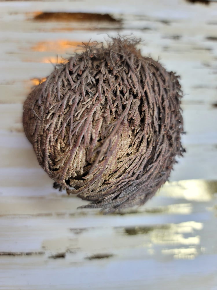 Image of Rose of Jericho