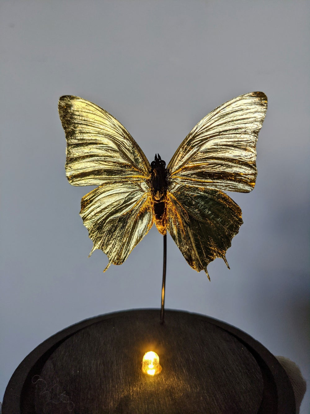 Gilded Charaxes Butterfly