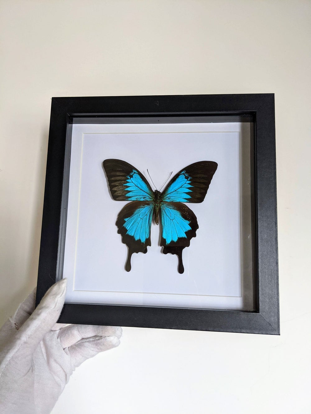 Ulysses swallowtail frame