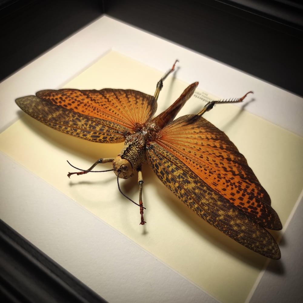 Image of Tropidacris dux