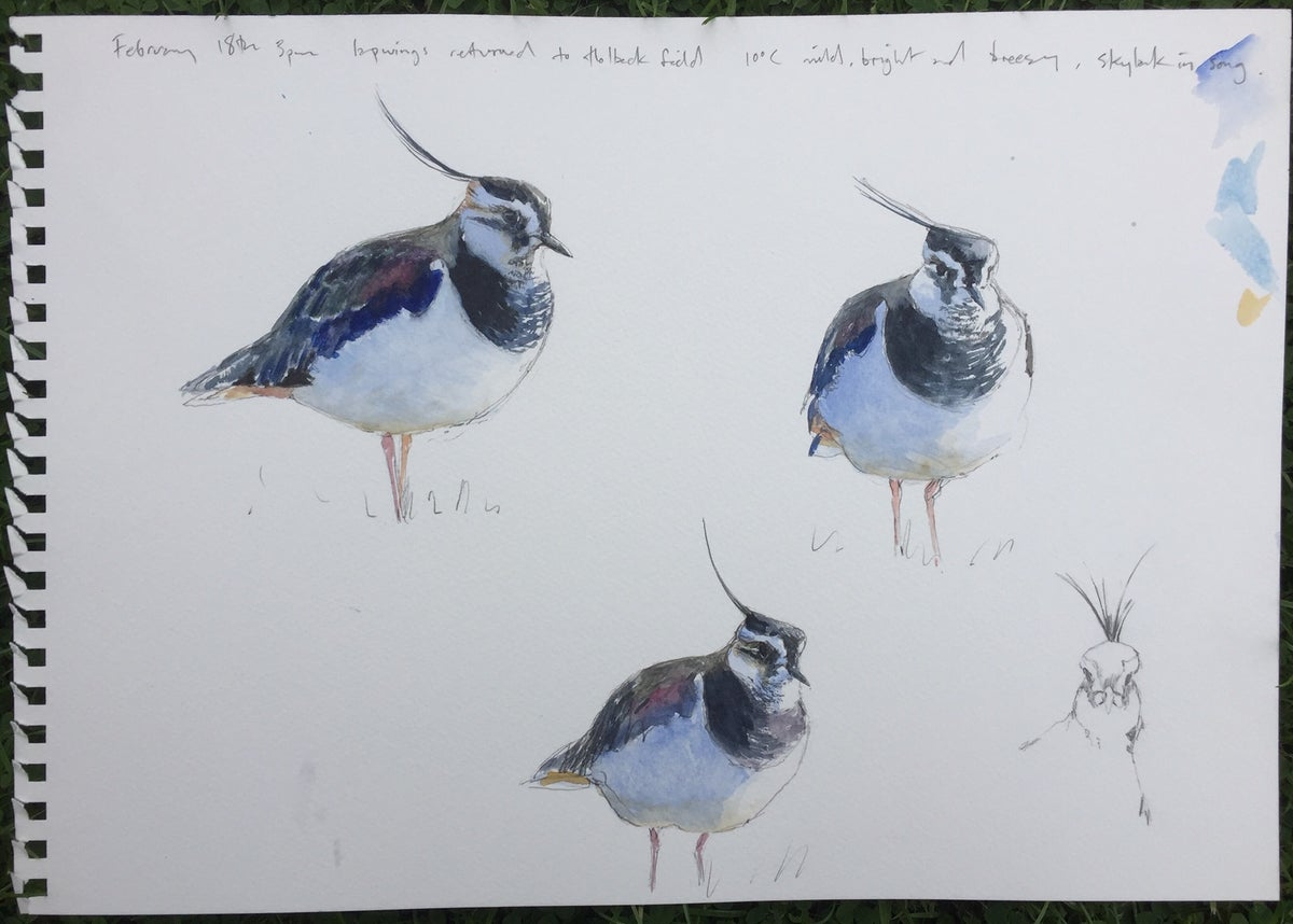 Image of Lapwing studies in water colour