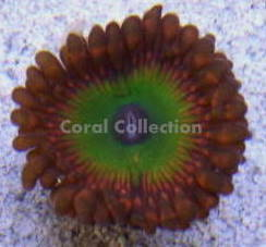 Image of Candy Apple Red Palythoa