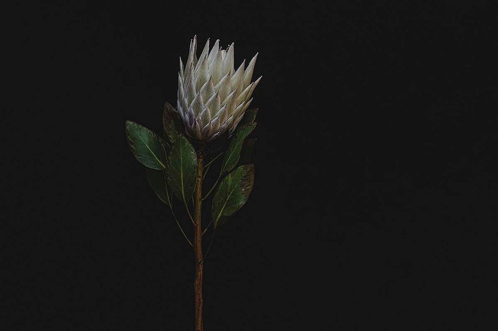 Image of Nature Study - Protea