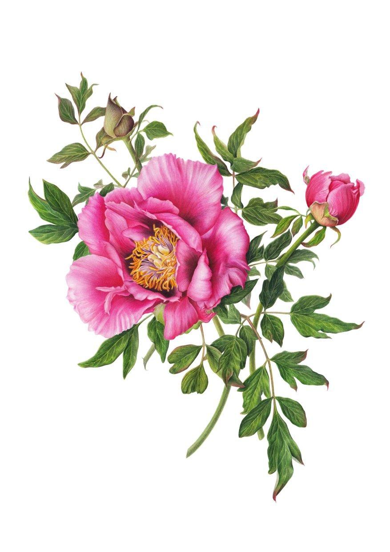 """Peony Evolution"". Fine art print of pink peonies watercolor painting."