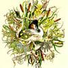'Australasian Crested Grebe' Print