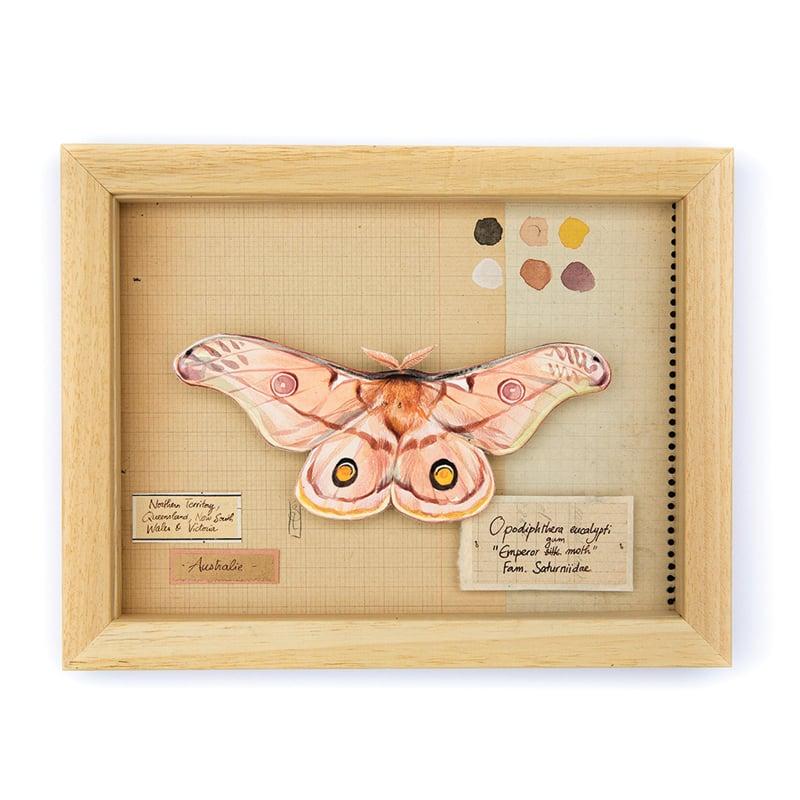 "Image of Papillons - ""Opodiphthera eucalypti"" - 18 x 24 cm"