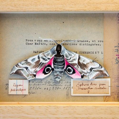"Image of Papillon - ""Sphinx demi-paon"" - 18 x 24 cm"
