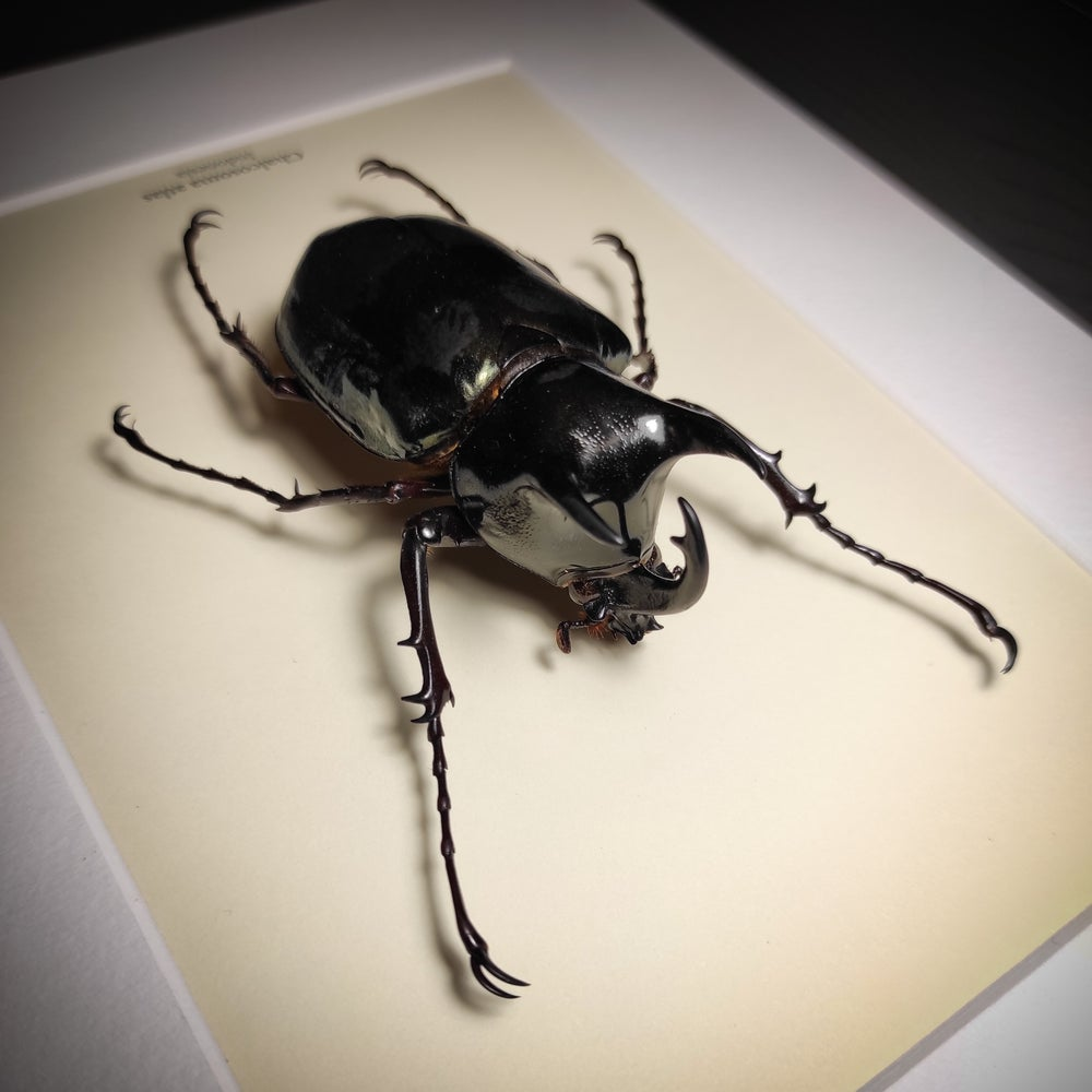 Image of Chalcosoma atlas *Closed Wings