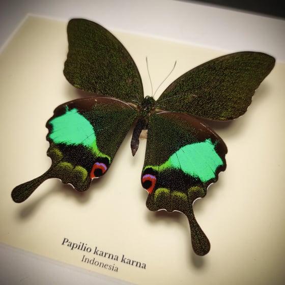 Image of Papilio karna karna