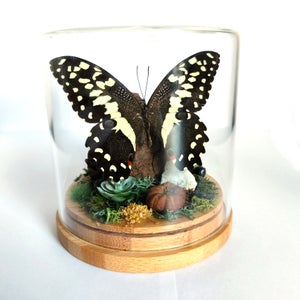 Image of Lime Swallowtail Butterfly Woodland Habitat Jar