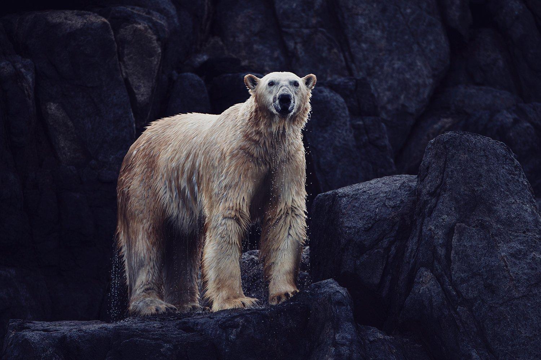 Image of Torngat Polar Bear // David Howells