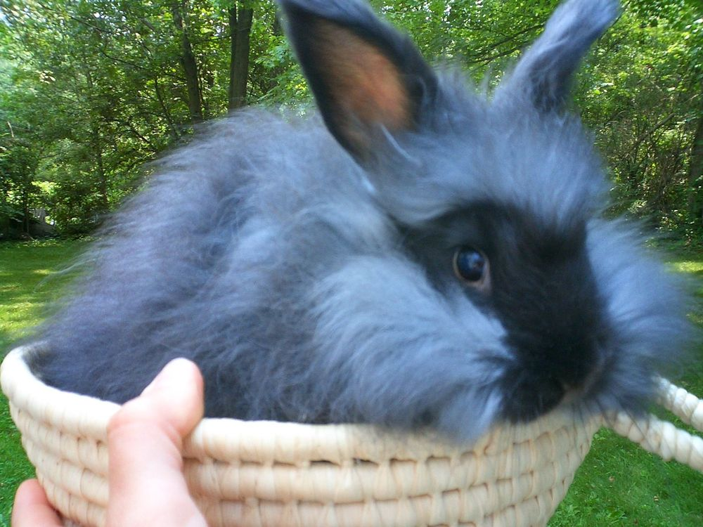 english angora bunnies make great pets ambikaboutique