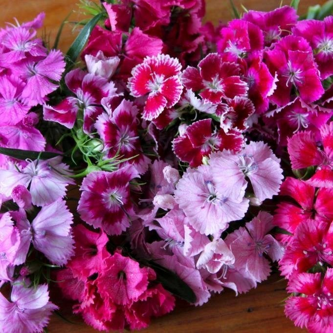 Sweet william tall double mix