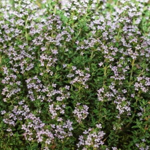 Thyme winter