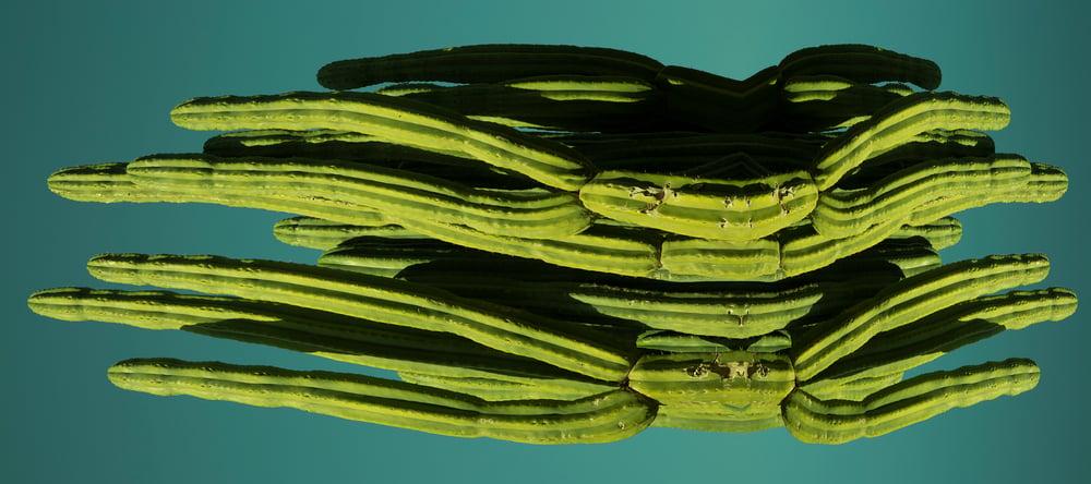Image of SPIDER CACTUS