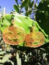 Translucent Orange Jack O'Lantern Earrings