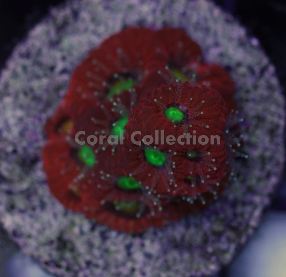 Image of Red War Coral
