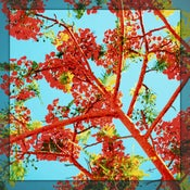 Image of Poinciana Paradise | VectorArt