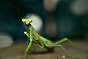 Image of Praying Mantis