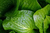 "Image of Hostas 8 x 12"" Metallic Paper Print"