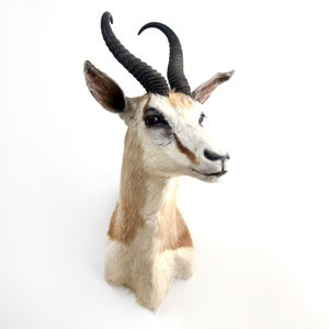 Image of African Springbok Antelope Shoulder Mount Taxidermy