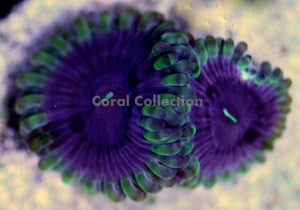 Image of CC Purple Berry Paly