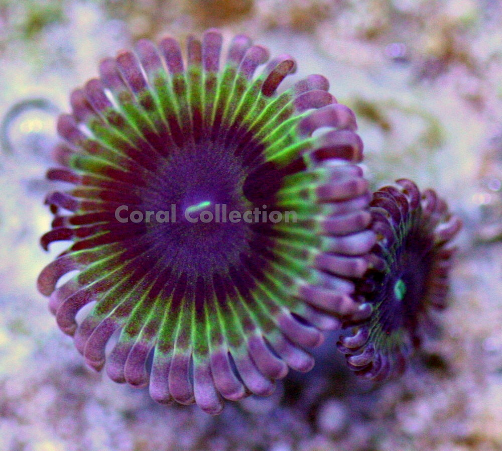 Image of CC Electric Daisy Paly