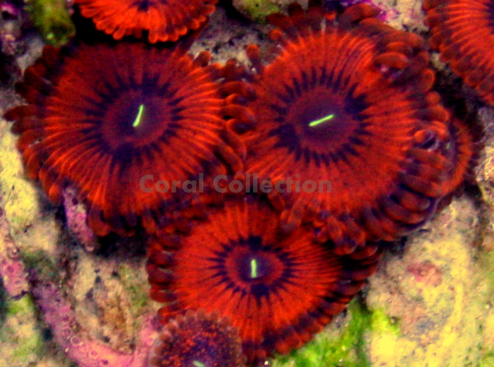 Valentine S Day Massacre Coral Collection