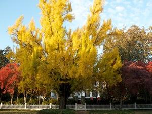 Image of The UGA President's House ginko tree