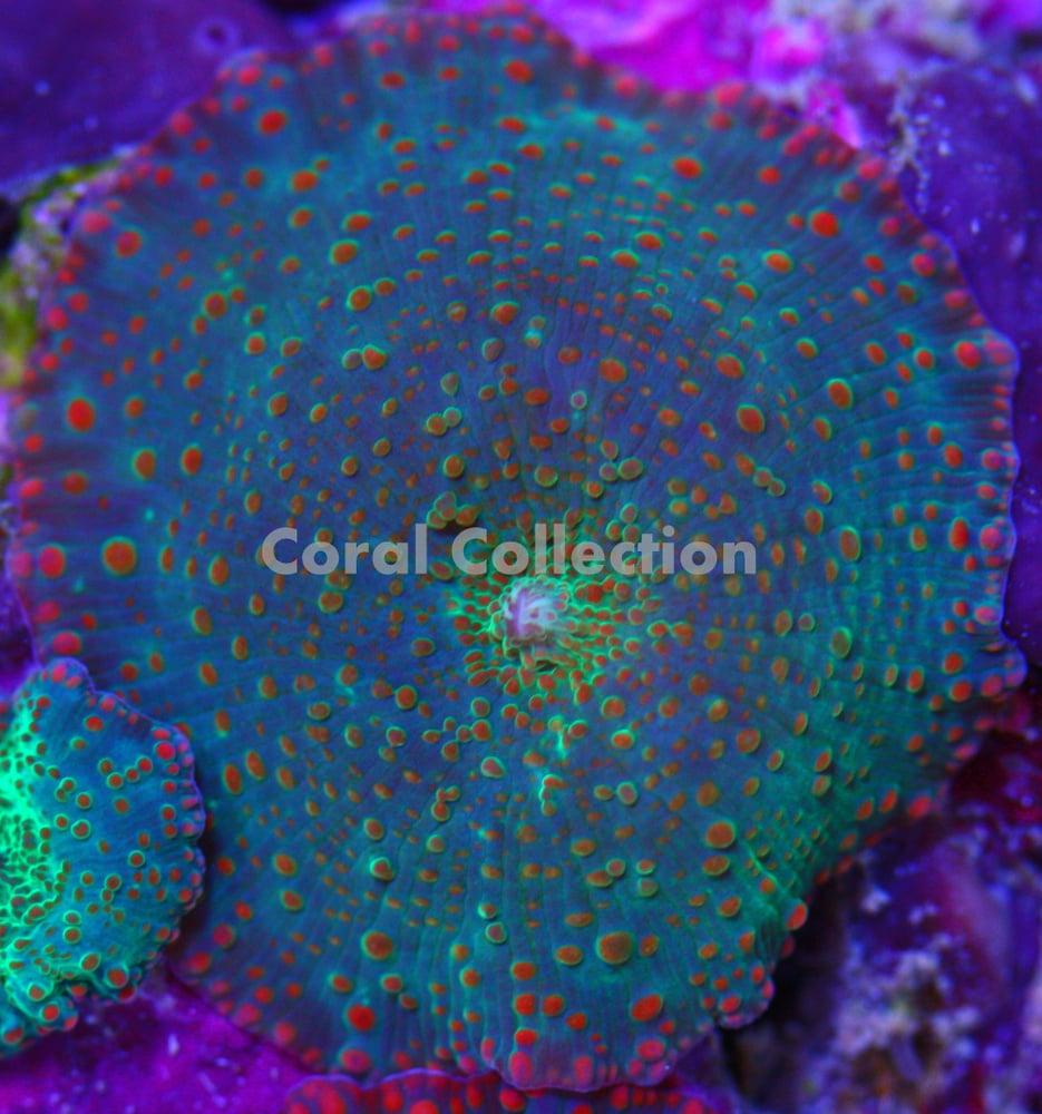 Image of CC Nuclear Sunset Mushroom