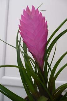 Image of Tillandsia cyanea goliath