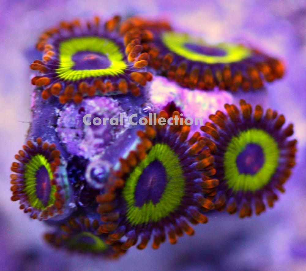 Image of Fruit Loops Zoa
