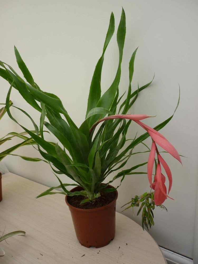 Image of Billbergia x windii