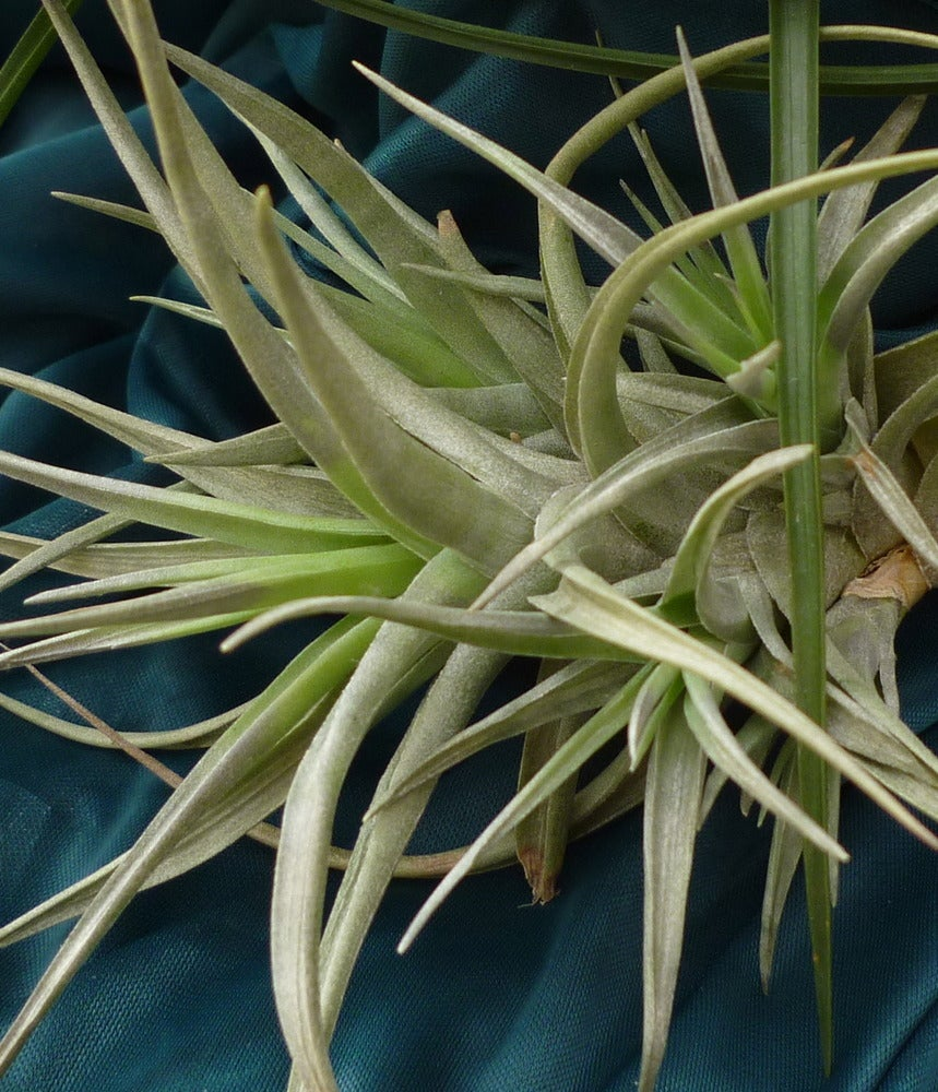 Image of Tillandsia Bergeri