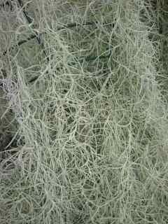 Image of Tillandsia usneoides