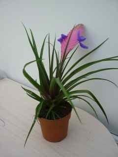 Image of Tillandsia Cyanea anita