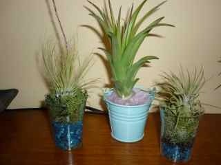 Image of Tillandsia mix
