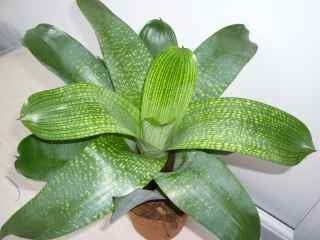 Image of Vriesea gigantica