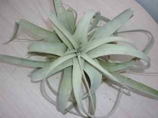 Image of Tillandsia xerographica