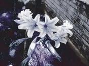 Image of Flowers of Purgatory
