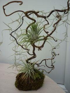 Image of tillandsia mini tree