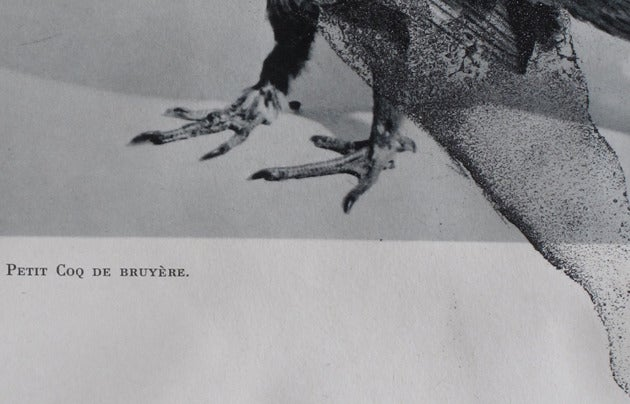 Image of Coq de bruyère