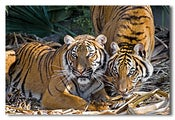 Image of Tiger Tiger