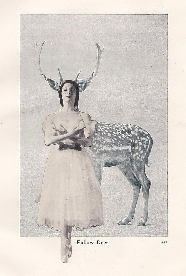 Image of Fallow Deer