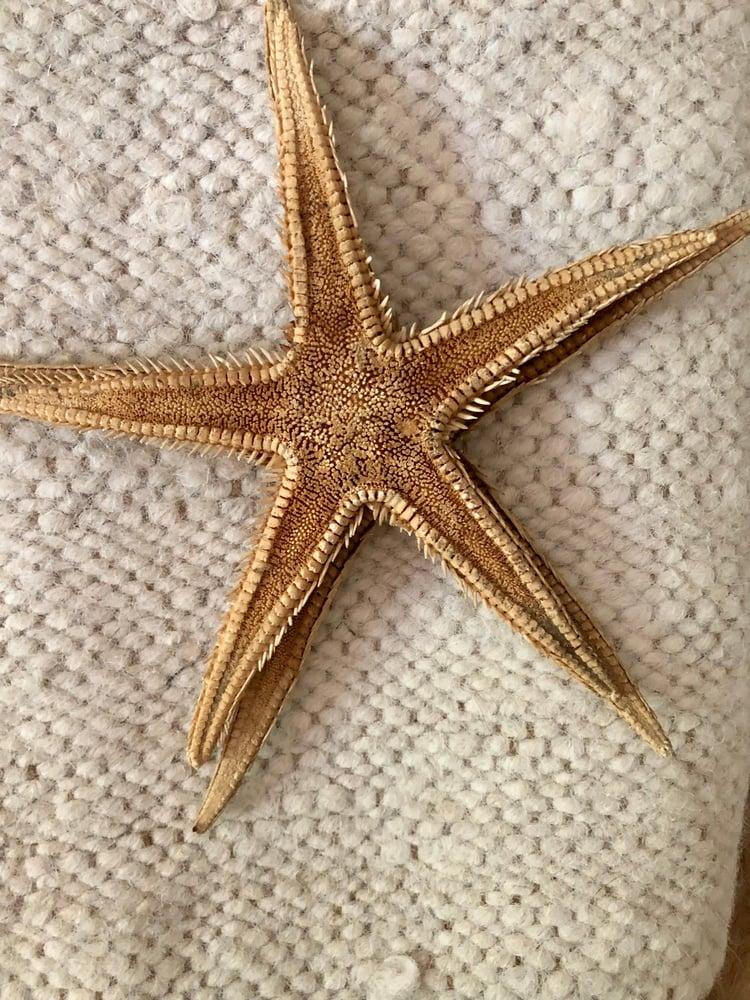 Image of Véritable étoile de mer