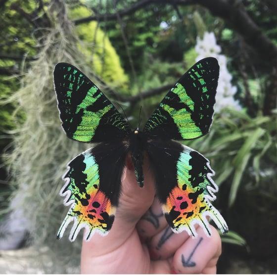 Image of Framed Madagascan Sunset Moth ❤️