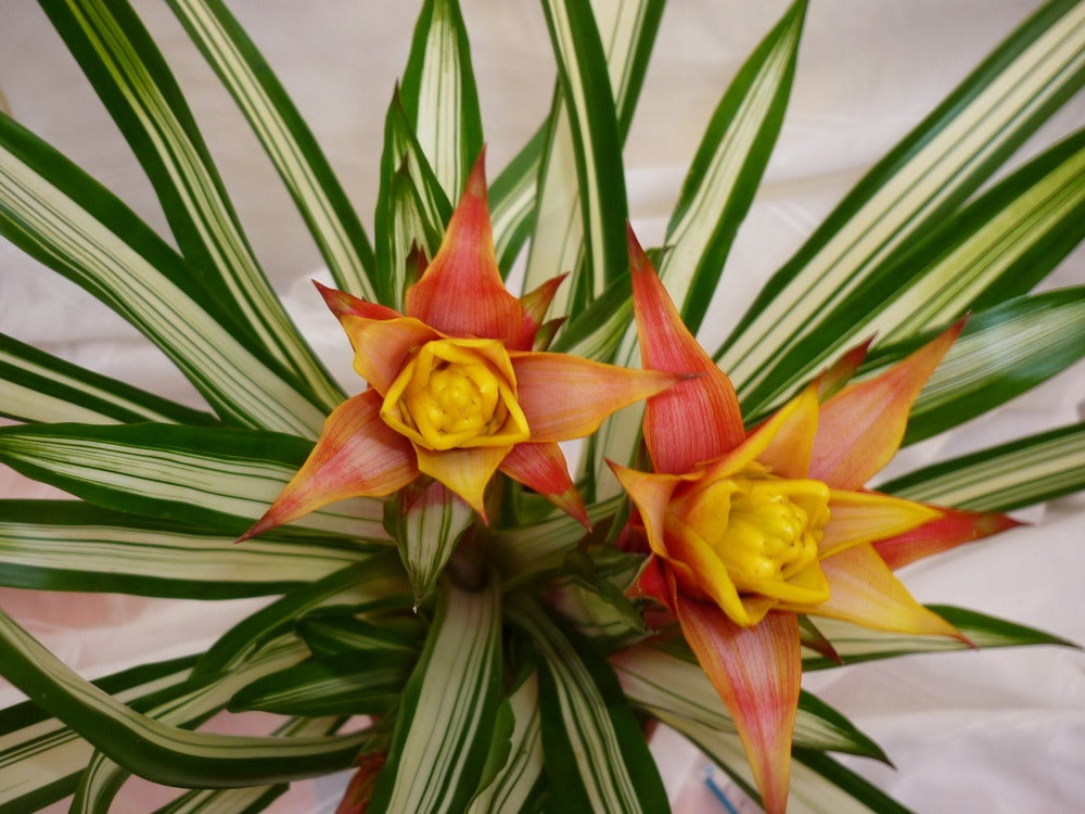 Image of Guzmania Lingulata. mix